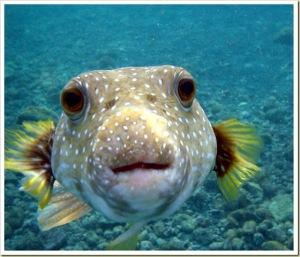 Ikan Puffer