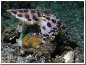 Octopus Cincin Biru