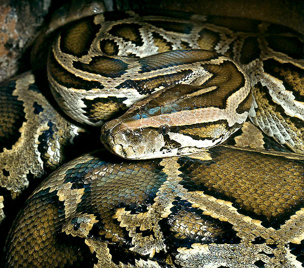 ular_piton